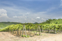 winogrona gospodarstwo rolne Fotografia Royalty Free