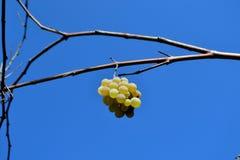 Winogrona i niebieskie niebo Fotografia Stock