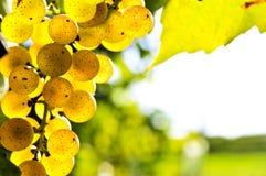 winogrona kolor żółty Zdjęcie Stock