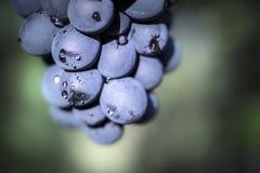 Winogrona makro- Obraz Stock