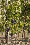 winogrona merlot Zdjęcia Stock