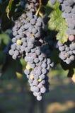 winogrona merlot Zdjęcie Stock