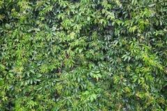 Winogrona na ścianie. Tło tekstura Obraz Royalty Free
