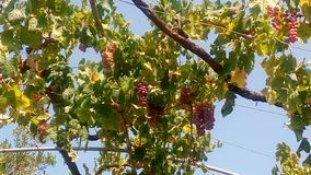 Winogrona na letnim dniu w jardzie i niebieskim niebie zdjęcie stock