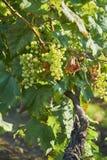 Winogrona na winogradach Fotografia Royalty Free
