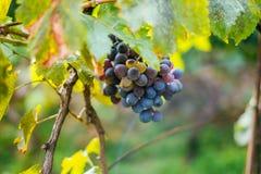 Winogrona na winogradzie zdjęcie royalty free