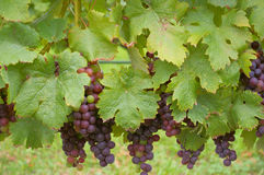 Winogrona na winogradzie Zdjęcia Stock