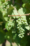 Winogrona na winogradzie Obrazy Royalty Free