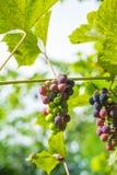 Winogrona na winogradzie Obrazy Stock