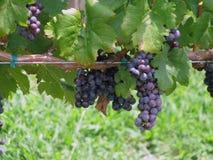 Winogrona na winogradzie Zdjęcie Stock