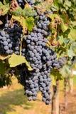 winogrona na winogradzie, cyfrowy fotografia obrazek jako tło zdjęcia stock