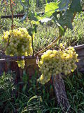 Winogrona na winogradzie i otaczający liśćmi Fotografia Royalty Free