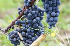 Winogrona na winogradzie i trawie Zdjęcia Royalty Free