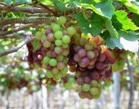 Winogrona na winogradzie w Phan Dzwonili, Wietnam zdjęcia royalty free
