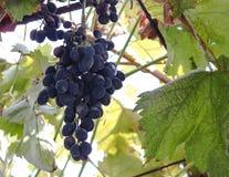 Winogrona na winogradzie Wciąż w rolnika polu tworzącym Mistrzowskim Vintner, Dojrzali winogrona wieszają na winogradzie zdjęcia stock