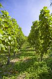 Winogrona na winorośli z drewnianym tłem obraz royalty free