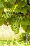 Winogrona na winorośli z drewnianym tłem obraz stock