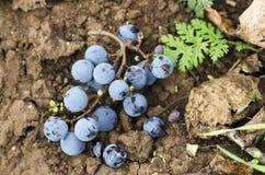 Winogrona na ziemi Obraz Stock