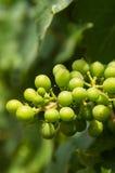 winogrona niedojrzali Zdjęcia Royalty Free