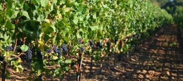 winogrona noir Pinot Fotografia Stock