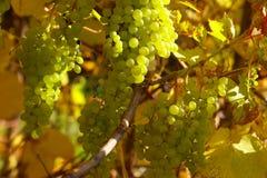 winogrona oddziału zdjęcia royalty free