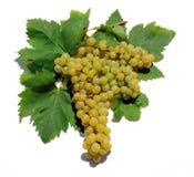 winogrona odizolowane white Zdjęcia Royalty Free