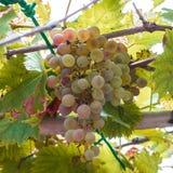 winogrona organicznie fotografia royalty free