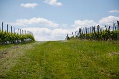 Winogrona pole na nieba tle w wiośnie Obrazy Stock