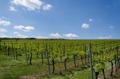 Winogrona pole na nieba tle w wiośnie Obraz Royalty Free