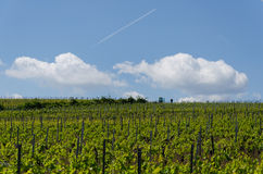 Winogrona pole na nieba tle w wiośnie Zdjęcia Stock