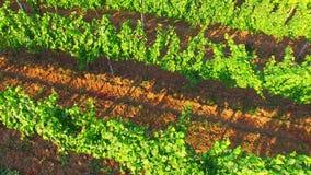 Winogrona pole w Chorwacja zbiory