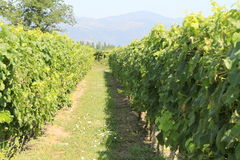Winogrona przy wytwórnią win Santa Cruz Chile Obraz Stock