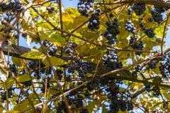 Winogrona r na winogradzie fotografia royalty free