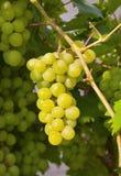 winogrona słodcy obraz royalty free