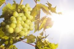 winogrona sun Zdjęcia Royalty Free