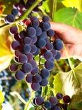 winogrona target2016_1_ słodkiego winnicę Zdjęcie Stock