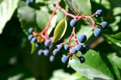 winogrona trochę zdjęcie stock