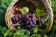 Winogrona w łozinowym koszu zaświecali słońcem Zdjęcia Stock