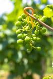 Winogrona w dojrzenie scenie zdjęcia royalty free