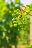 Winogrona w dojrzenie scenie zdjęcie royalty free