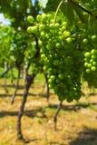 Winogrona w dojrzenie scenie fotografia stock