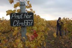 Winogrona w jesień Zdjęcie Royalty Free