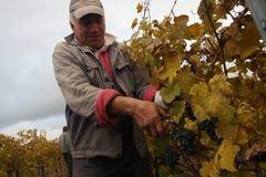 Winogrona w jesień Zdjęcia Royalty Free
