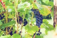 Winogrona w ogródzie Obrazy Royalty Free