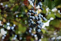 Winogrona w pogodnym jesieni świetle obrazy stock