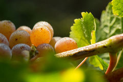 Winogrona w ranek rosie Obraz Stock