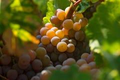 Winogrona w ranku słońcu Zdjęcie Royalty Free