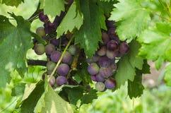 Winogrona w Tuscany obraz stock