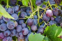Winogrona w Włochy zdjęcie stock