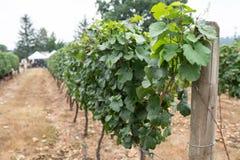 Winogrona w winnicy obrazy stock